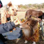 千葉の老犬ホーム九十九里パークの~ホットなワンちゃん達(HOT DOG)いらっしゃ~い!(小型犬)その2編