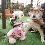 千葉の老犬ホーム九十九里パークから…2月は節分で福はうち~女の子達はハッピーバレンタインも楽しもう~!(中型犬・大型犬)その2編