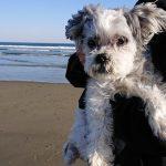 千葉の老犬ホーム九十九里パークこうれいの~九十九里海岸の海さんぽ2018にみんなと一緒に行ってらっしゃ~い!(小型犬と柴犬のバンくん)その4編