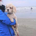 千葉の老犬ホーム九十九里パークこうれいの~九十九里海岸の海さんぽ2018にみんなと一緒に行ってらっしゃ~い!(小型犬)その6編