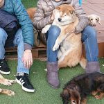 老犬ホーム九十九里パークに…神奈川から、柴犬のくまさんの様なムクムクの男の子のバンくん(15さい)が入園しました。編