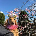 千葉の老犬ホーム九十九里パークの~女の子も男の子もみんなで一緒にひな祭り。(小型犬)その3編