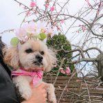 千葉の老犬ホーム九十九里パークの~女の子も男の子もみんなで一緒にひな祭り。(小型犬)その6編