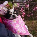 千葉の老犬ホーム九十九里パークの~女の子も男の子もみんなで一緒にひな祭り。(小型犬)その1編