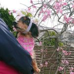 千葉の老犬ホーム九十九里パークの~女の子も男の子もみんなで一緒にひな祭り。(小型犬)その4編