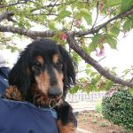 千葉の老犬ホーム九十九里パークのワンちゃん達、サクラ咲く作田川で春のお花見に行ってらっしゃ~い~!(小型犬)その2編