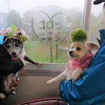 千葉の老犬ホーム九十九里パークの~女の子も男の子もみんなで一緒にひな祭り。(小型犬)その5編