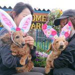 老犬ホーム九十九里パークに…千葉からダックスフンドの女の子のハッピーちゃん(16さい)が入園しました。編