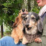 老犬ホーム九十九里パークに…千葉から仲良しミニチュアダックスの女の子のココちゃんとクリちゃん(9さい)が入園しました。編