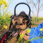 千葉の老犬ホーム九十九里パークのワンちゃん達、サクラ咲く作田川で春のお花見に行ってらっしゃ~い~!(中型犬・大型犬)その3編
