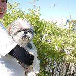 老犬ホーム九十九里パークに…千葉からシーズーの男の子のココアくん(14さい)が入園しました。編