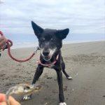 千葉の老犬ホーム九十九里パーク恒例の~九十九里海岸の海さんぽ、みんなで一緒にいってらっしゃ~い!(小型犬・ココちゃん)その5編