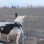 千葉の老犬ホーム九十九里パーク恒例の~九十九里海岸の海さんぽ、みんなで一緒にいってらっしゃ~い!(中型犬・大型犬・蓮二平治くん)その3編