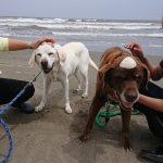 千葉の老犬ホーム九十九里パーク恒例の~九十九里海岸の海さんぽ、みんなで一緒にいってらっしゃ~い!(中型犬・大型犬)その4編