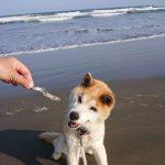 千葉の老犬ホーム九十九里パーク恒例の~九十九里海岸の海さんぽ、みんなで一緒にいってらっしゃ~い!(小型犬・ゴンタくん)その3編