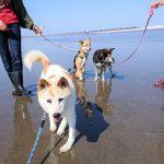 千葉の老犬ホーム九十九里パーク恒例の~九十九里海岸の海さんぽ、みんなで一緒にいってらっしゃ~い!(中型犬・大型犬・ミッキーくん)その1編