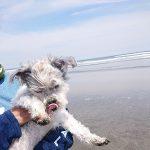 千葉の老犬ホーム九十九里パーク恒例の~九十九里海岸の海さんぽ、みんなで一緒にいってらっしゃ~い!(小型犬・柴犬)その7編