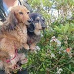 千葉の老犬ホーム九十九里パーク恒例の~九十九里海岸の海さんぽ、みんなで一緒にいってらっしゃ~い!(小型犬)その2編