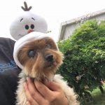 千葉の老犬ホーム九十九里パークから~雨あめあがれ可愛いてるてる坊主たち(小型犬)その2編