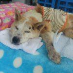 老犬ホーム九十九里パークに…千葉からMIXの女の子のみゆちゃん(16さい)が入園しました。編