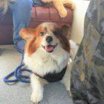 老犬ホーム九十九里パークに…千葉からパピヨンの男の子のチャオくん(10さい)が入園しました。編