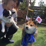 老犬ホーム九十九里パークに…千葉から柴犬の女の子のメリーちゃん(7さい)が入園しました。編