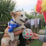 千葉の老犬ホーム九十九里パークに…神奈川からコーギーの男の子のサムくん(10さい)が入園しました。編