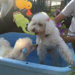老犬ホーム九十九里パークの~今年はお風呂っぽいね2018年ミニミニプール開きだよ!(小型犬)その2編