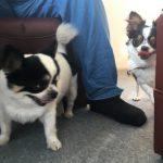 千葉の老犬ホーム九十九里パークに…東京からチワワの女の子のチョコビーちゃん(1さい)が入園しました。編