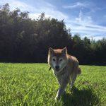 千葉の老犬ホーム九十九里パークに…神奈川から柴犬の女の子のすみれちゃん(15さい)が入園しました。編