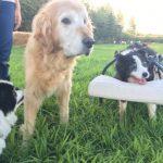 老犬ホーム九十九里パークに…ボーダー・コリーの女の子のポピーちゃん(17さい)が入園しました。編