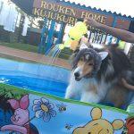 千葉の老犬ホーム九十九里パークに…神奈川からシェルティーの男の子のゴロくん(17さい)が入園しました。編