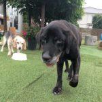 千葉の老犬ホーム九十九里パークに…東京からラブラドールレトリバーの女の子のメルちゃんが入園しました。編