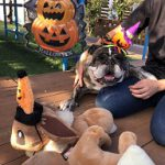 いたずら好きの可愛いカボチャ達見~つけた、みんなで一緒にハッピーハロウィーン!(中型犬・大型犬)その1編
