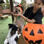いたずら好きの可愛いカボチャ達見~つけた、みんなで一緒にハッピーハロウィーン!(小型犬)その8編