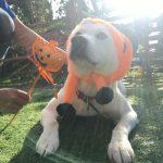 いたずら好きの可愛いカボチャ達見~つけた、みんなで一緒にハッピーハロウィーン!(中型犬・大型犬)その2編