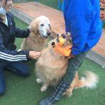 老犬ホーム九十九里パークに…ゴールデンレトリーバーの男の子のブレイヴくんが入園しました。編