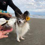 老犬ホーム九十九里パークこうれいの…九十九里海岸の海さんぽにいってきま~す!(小型犬)その3編