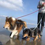 老犬ホーム九十九里パークこうれいの…九十九里海岸の海さんぽにいってきま~す!(小型犬)その5編