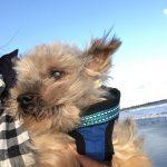 老犬ホーム九十九里パークに…千葉からヨークシャテリアの男の子のレオリくん(17さい)が入園しました。編