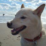老犬ホーム九十九里パークこうれいの…九十九里海岸の海さんぽにいってきま~す!(中型犬・大型犬)その2編