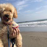 千葉の老犬ホーム九十九里パークに…東京からトイ・プードルの男の子のアレンくん(11さい)が入園しました。編