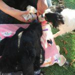 老犬ホーム九十九里パークこうれいの…九十九里海岸の海さんぽにいってきま~す!(中型犬・大型犬)その5編