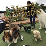 九十九里パークから~ワンちゃん達のハッピーメリークリスマス!(小型犬と柴犬)その3編