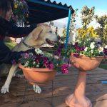 老犬ホーム九十九里パークに…千葉からラブラドールレトリバーの男の子のピースくん(10さい)が入園しました。編