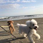 老犬ホーム九十九里パークに…神奈川からトイ・プードルの男の子のマロンくん(9さい)とココアくん(9さい)が入園しました。編