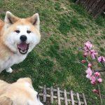 老犬ホーム九十九里パークに…東京からラブラドールレトリーバーの女の子のフィンちゃん(17さい)が入園しました。編