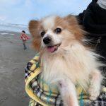 老犬ホーム九十九里パークに…東京からパピヨンの男の子のコタロウくん(14さい)が入園しました。編