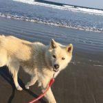 老犬ホーム九十九里パークに…千葉からバセンジーのMIXの女の子のひめちゃん(12さい)が入園しました。編