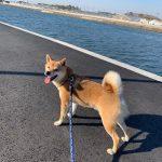 老犬ホーム九十九里パークに…千葉から柴犬の男の子の小太郎くん(3さい)が入園しました。編